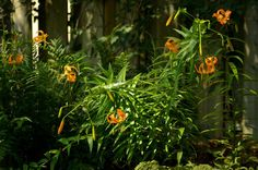henry's lily - Google Search