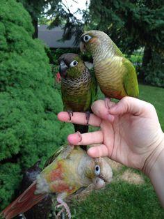 Cute green cheek #conures. By: Annie Gavin