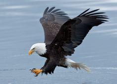 Bald_Eagle_Striking_Southeast_Alaska