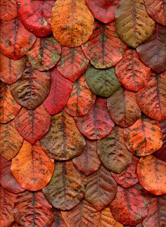 Cotinus coggygria 'Royal Purple'  | Flickr - Horticultural Art Photostream