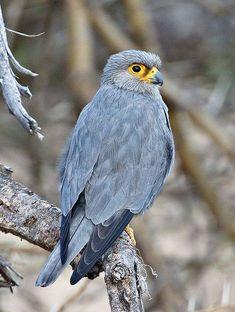 Sooty Falcon