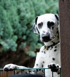 dalmatian with heart shaped spot on his eye!