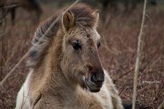 Veulen Konikpaard