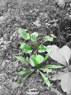 See plantain herb in action on yellow jacket stings, and learn about it's impressive history, as well as the long list of effective actions for this herb.