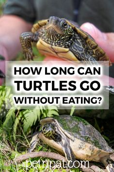 How Long Can Turtles Go Without Eating?  #turtles #animals #pets #aquarium Animals For Kids, Baby Animals, Funny Animals, Animal Quotes, Animal Memes, Turtle Tank Filters, Pet Turtle Care, Types Of Turtles, Animals That Hibernate