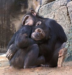 Who says animals don't have feelings. Primates, Cute Baby Animals, Animals And Pets, Funny Animals, Animal Hugs, Cute Animal Photos, Animals Photos, Jane Goodall, Tier Fotos