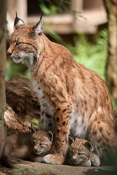 lynx mom with her kittens Big Cats, Cool Cats, Cats And Kittens, Puma, Cute Baby Animals, Animals And Pets, Wild Animals, Beautiful Cats, Animals Beautiful