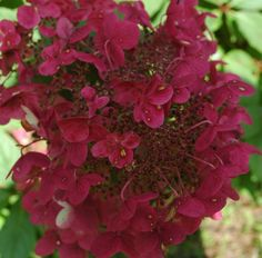 Hydrangea 'Wims Red'  is it really this red?