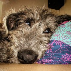 Having one of those days. Photo Gabi Schmidt #WQ #wolfhound #irishwolfhound #irishwolfhoundpuppy #wolfhoundpuppy #puppy #monday #sweet #mansbestfriend