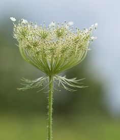 Queen Annes Lace | Debbie | Flickr