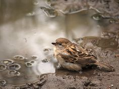 Sweet little sparrow All Birds, Birds Of Prey, Little Birds, Sparrow Bird, British Garden, Wild Dogs, Tier Fotos, Colorful Birds, Nature Images
