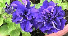 double petal petunia hybrida seeds