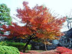 O momiji – Acer Palmatum Atropurpureum – é uma das árvores mais deslumbrantes durante o outono no Japão.