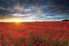 Wiltshire Poppies  A incredibly vibrant field of poppies at sunset on the Salisbury Plain, Wiltshire, U.K  © Antony Spencer