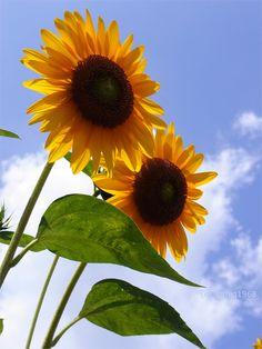 東京のヒマワリ / Sunflower of Tokyo.