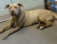 Sailor - URGENT - Dekalb County Animal Shelter in Decatur, Georgia - ADOPT OR FOSTER - 1 year old Male Am. Pit Bull Mix