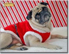 Read Pugsley's story the Pug from Waterford, Connecticut and see his photos at Dog of the Day http://DogoftheDay.com/archive/2014/December/09.html .