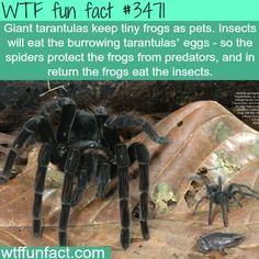 Tarantulas have pet frogs