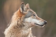 Gray wolf by Holger Hübner on 500px