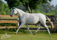 Lusitano Horses breading Ranch,  Haras Dos Cavaleiros in Magnolia Texas