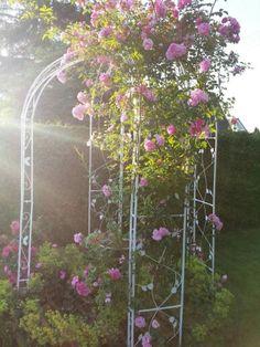 Rosen Bogen kletterrose