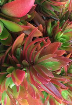 Indigenous to South Africa these succulents, Crassula, come in many different colours and shapes. #WaterWise gems with leaves colouring in winter