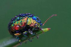 Rainbow Leaf Beetle (Chrysolina cerealis) via myscienceacademy: This rare eurasian beetle is 5.5 - 10 mm long and is characterized by longitudinal bands of red, green and purple running along its wing cases. It mostly feeds on wild thyme and prefers the flowers over the leaves. http://en.wikipedia.org/wiki/Chrysolina_cerealis #Beetle #Rainbow_Leaf_Beetle