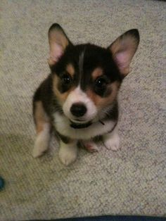 1000+ images about Corgi Love on Pinterest | Corgis, Corgi ...
