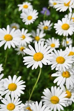 Yes, my secret garden must have daisies ! Flowers Nature, Love Flowers, My Flower, Flower Power, Beautiful Flowers, Sunflowers And Daisies, Daisy Love, Floral Photography, Gerbera