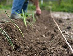 Repiquage des poireaux pour récolte d'hiver : quand repiquer, comment, habillage des poireaux