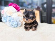 Browse yorkie puppies, Micro Teacup and best tiny teacu puppies for sale. Browse to find the tiniest and cutest Yorkie puppies for sale. Micro Teacup Dogs, Teacup Yorkie For Sale, Yorkie Puppy For Sale, Yorkie Dogs, Puppies For Sale, Cute Puppies, Toy Yorkie, Pomeranian Dogs, Teacup Pomeranian