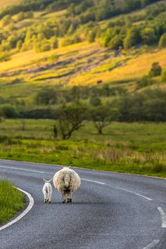 sheep travels