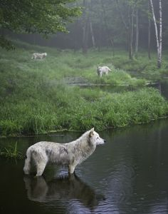 Daniel Parent: Three Wolves Wolves. On a foggy morning in Omega Park, I photographed this image of three wolves as they were distracted by their something in the surroundings. I like the layering and spacing of the wolves and the water in this fog.