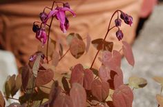 """The beginning gardener looking for """"something different"""" for a shade garden would be well-advised to try Epimedium. Here are some facts about the 'Rose Queen' cultivar: http://landscaping.about.com/od/plantsforshadyareas/ss/Rose-Queen-Epimedium-Whimsical-Full-Shade-Plant-Reputed-Aphrodisiac.htm"""