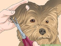 Yorkie Haircuts, Yorkie Poo Haircut, Yorkie Cuts, Dog Grooming Scissors, Puppy Cut, Yorkshire Terrier Dog, Purebred Dogs, Yorkie Puppy, Dog Items