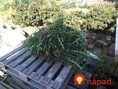Záhradkár prezradil, prečo nikdy nelikviduje vypletú burinu: Na toto prišiel úplnou náhodou a 2x väčšiu úrodu! Garden Hose, Herbs, Gardening, Plants, Outdoor, Animals, Compost, Garten, Animales