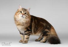 Joona, golden classic tabby, siberian cat.