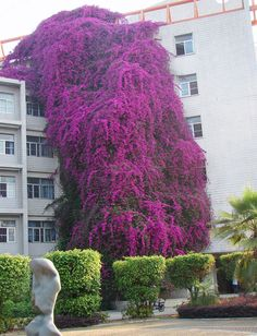 Bougainvillea at a university building in Nanking, China. 10 years old, over 1000 ft