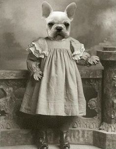 Victorian French Bulldog