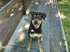 rottweiler and border collie mix Mans Best Friend, Best Friends, Rottweiler Mix, Border Collie Mix, Timber Wolf, Dog Park, Dog Houses, Dog Photos, Wolves