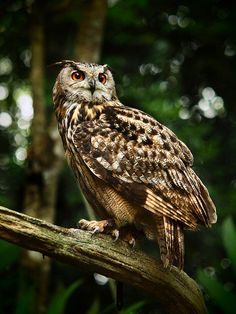 The Eurasian Eagle-owl (Bubo bubo) is a species of eagle owl resident in much of Europe and Asia. It is also known as one of the largest types of owls.