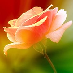roses for love by SvitakovaEva.deviantart.com
