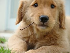 golden retriever puppy.. love