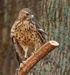 Red Shouldered Hawk by Talsi1, via Flickr