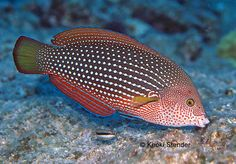 Pearl Wrasse Female, Anampses cuvier