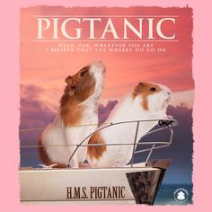 I believe that the weeks do go on. Diy Guinea Pig Cage, Pet Guinea Pigs, Cute Little Animals, Cute Funny Animals, Guinea Pig Quotes, Animals And Pets, Baby Animals, Guine Pig, Cute Piggies