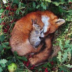 Wow...a fox snuggling a rabbit.