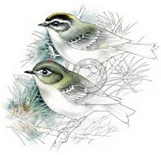 Roitelet Couronne et couronne dorée art de l'oiseau