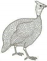 Bird coloring page guinea fowl Animal Sketches, Animal Drawings, Bird Outline, Let's Make Art, Mandala, Bird Coloring Pages, Guinea Fowl, Desenho Tattoo, Applique Designs