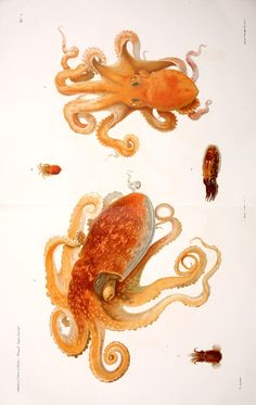http://bibliodyssey.blogspot.com/2011/08/neapolitan-cephalopods.html